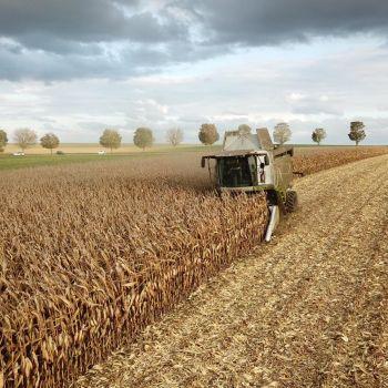 Battage de maïs grain dans le 91